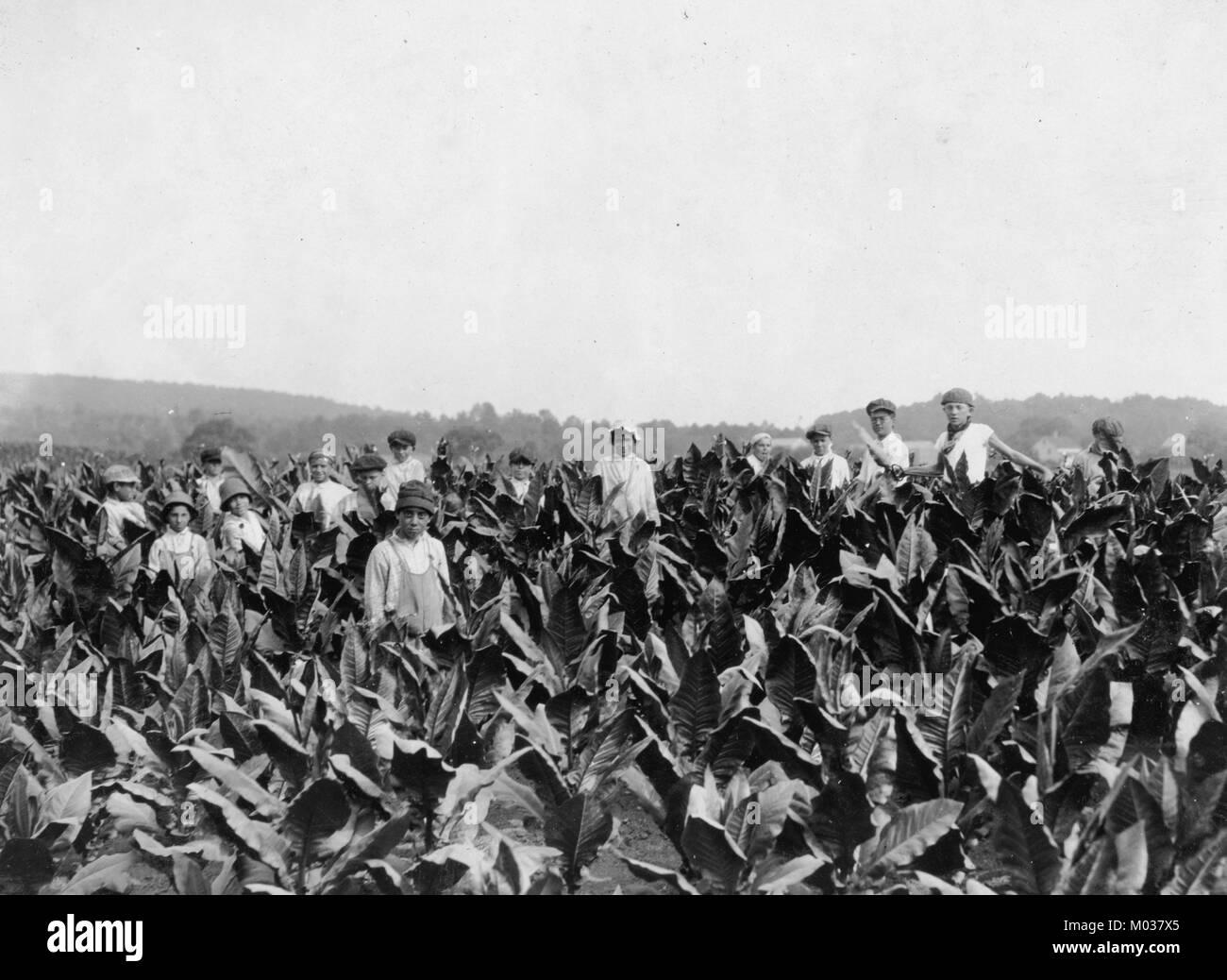 Field-workers, Goodrich Tobacco Farm, near Gildersleeve, - Stock Image