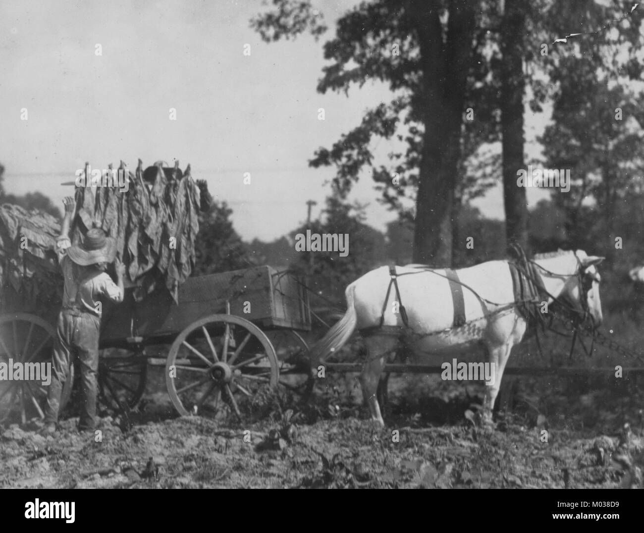 Boy 18 years old and father A.W. Galloway, loading tobacco. - Stock Image