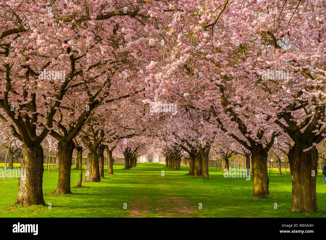 Beautiful cherry blossom avenue in the Schwetzingen garden, Germany. - Stock Image