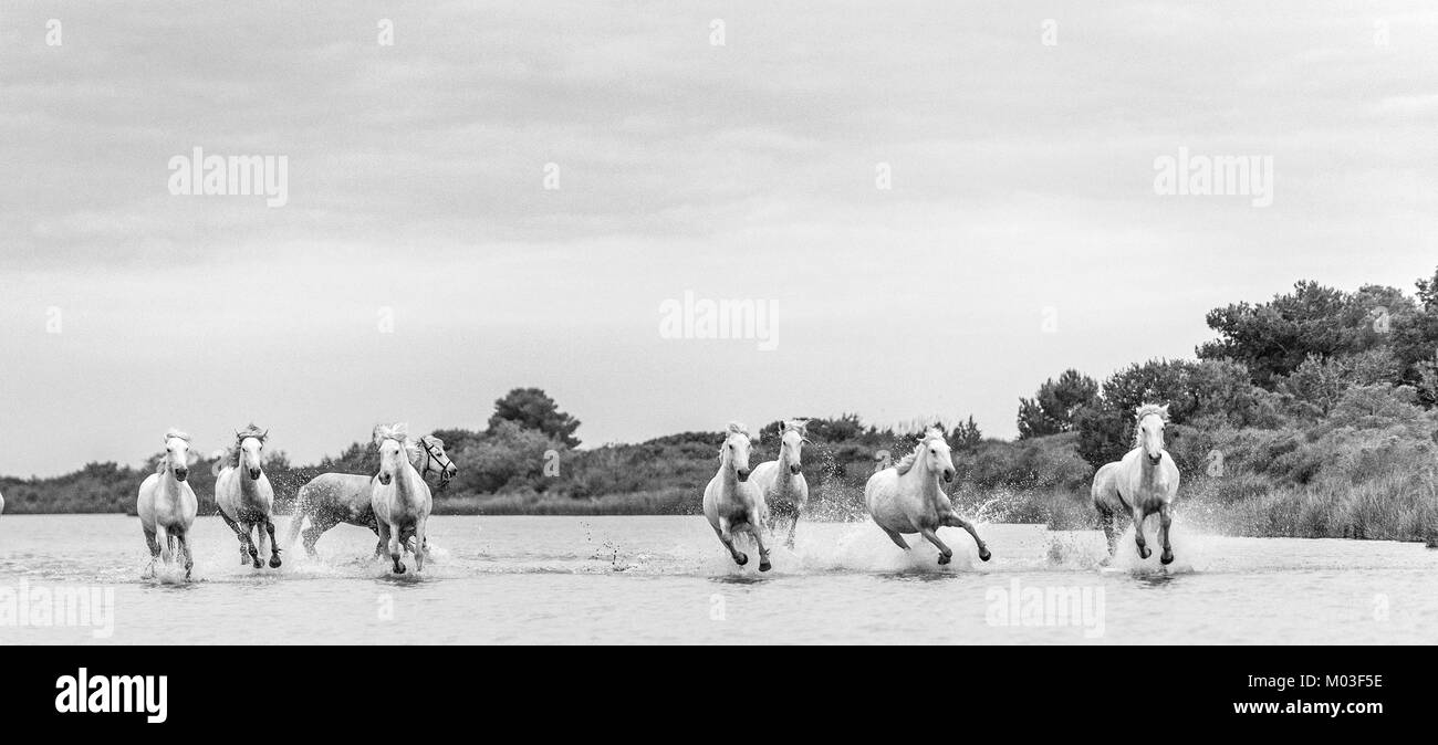 White Camargue Horses galloping through water. Parc Regional de Camargue - Provence, France - Stock Image