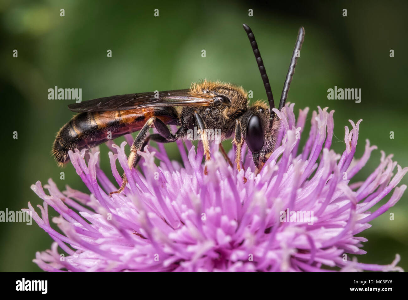 Common Furrow-Bee (Lassioglossum calceatum) resting on a Knapweed flower. Cahir, Tipperary, Ireland. - Stock Image