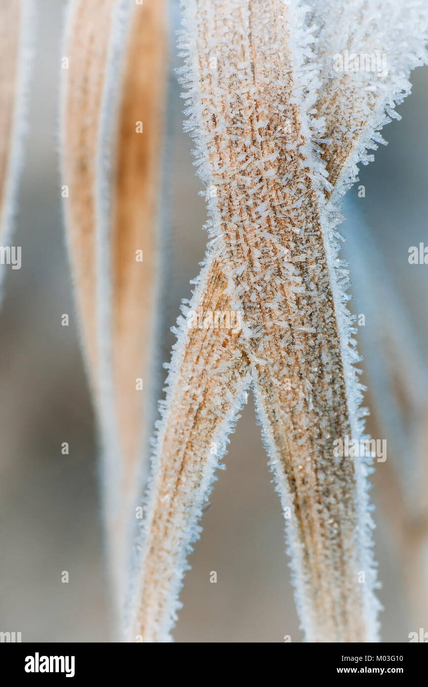 Frost covered blades of grass in a meadow on a winters morning. Cahir, Tipperary, Ireland. - Stock Image