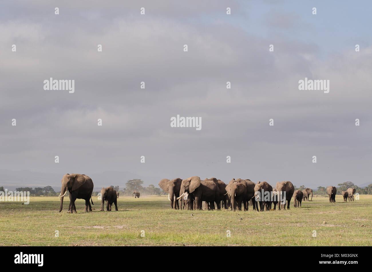 Large Herd of African elephants Amboseli Kenya - Stock Image