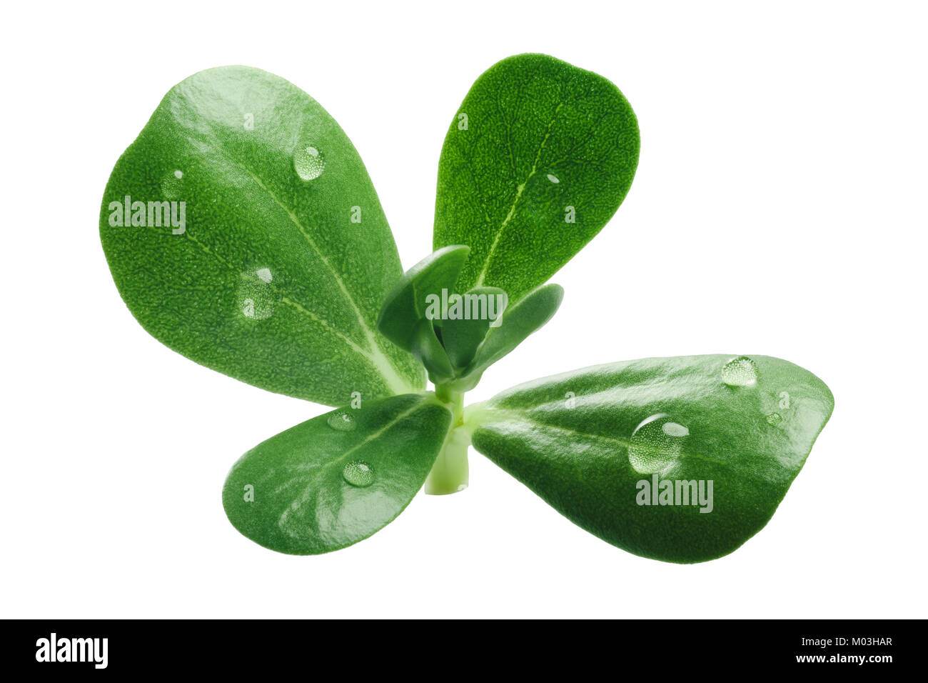 Common purslane (Portulaca oleracea) leaves. Clipping path - Stock Image