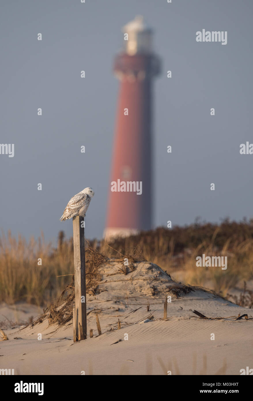 Snowy Owl at the Beach - Stock Image