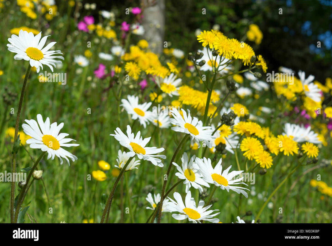 summer wild flowers growing by the roadside, england, uk. - Stock Image