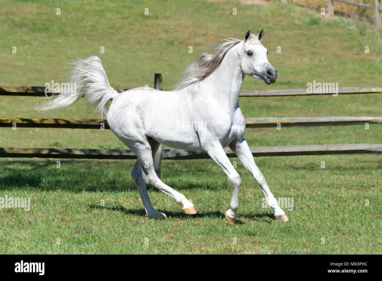 Gray Arabian High Resolution Stock Photography And Images Alamy