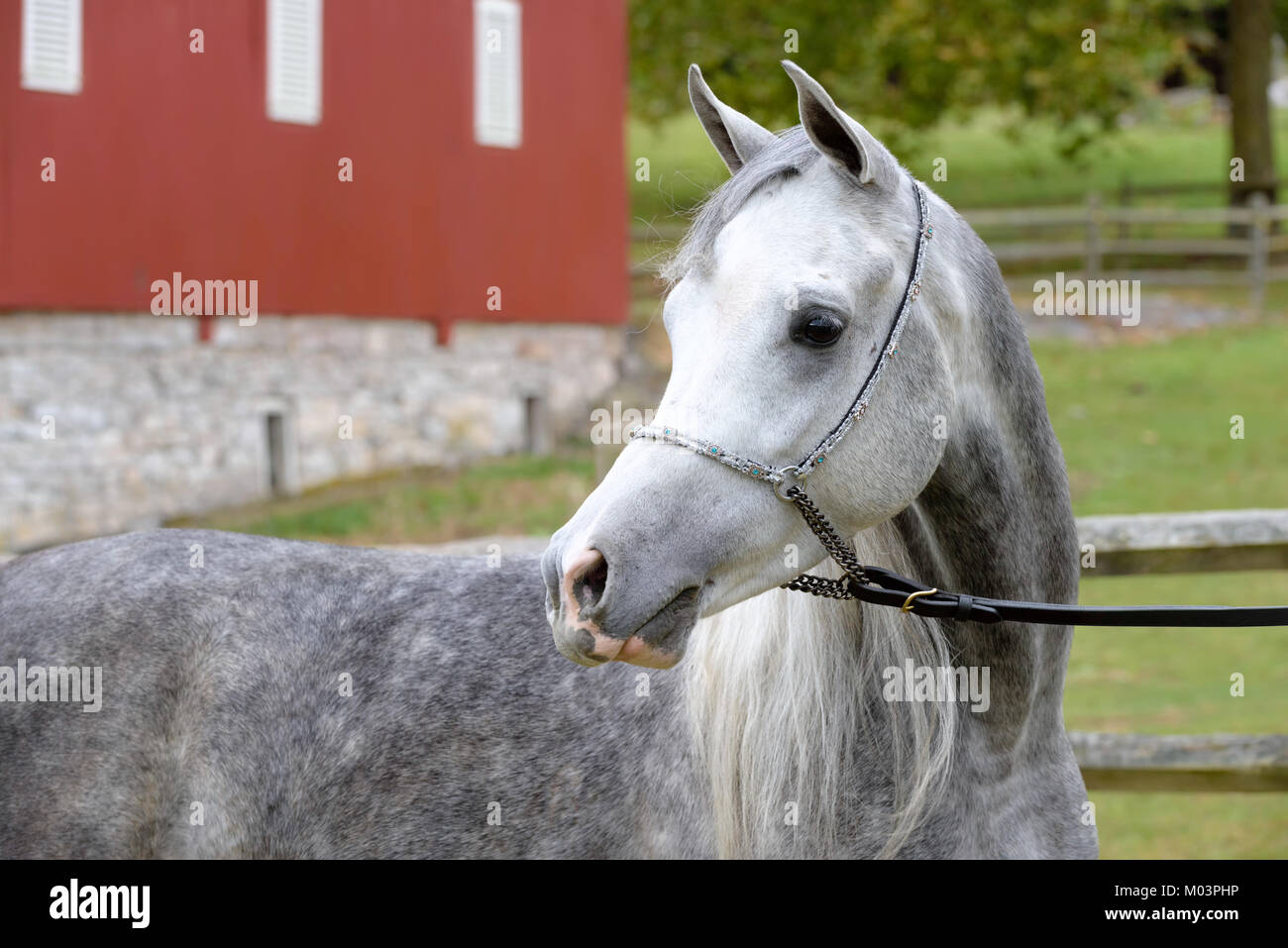 Arabian horse in close up, portrait of a dapple gray outdoors looking away in a farm setting. - Stock Image