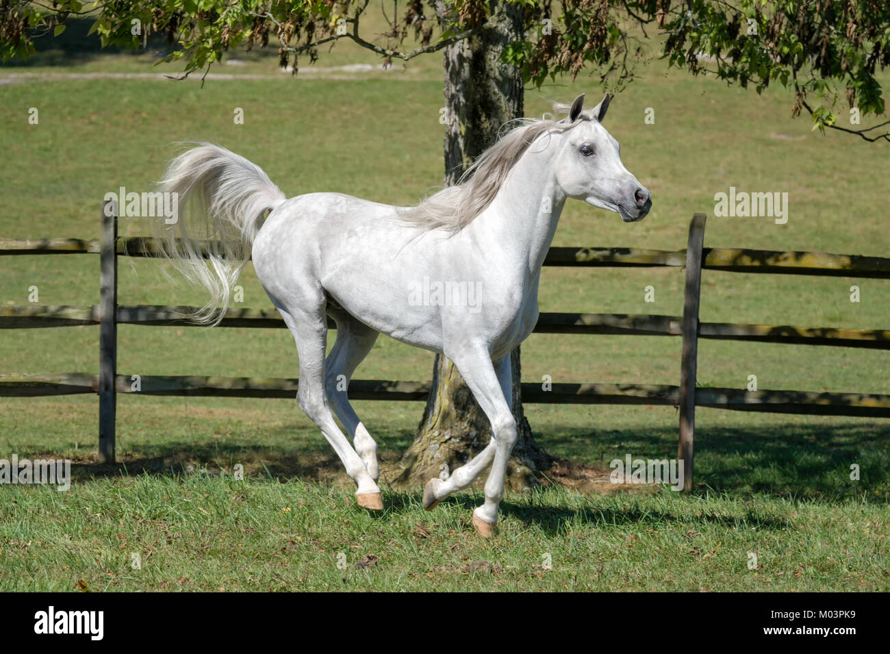 Horse running in collected trot while flagging tail, side view of a very beautiful white Arabian stallion in motion. - Stock Image