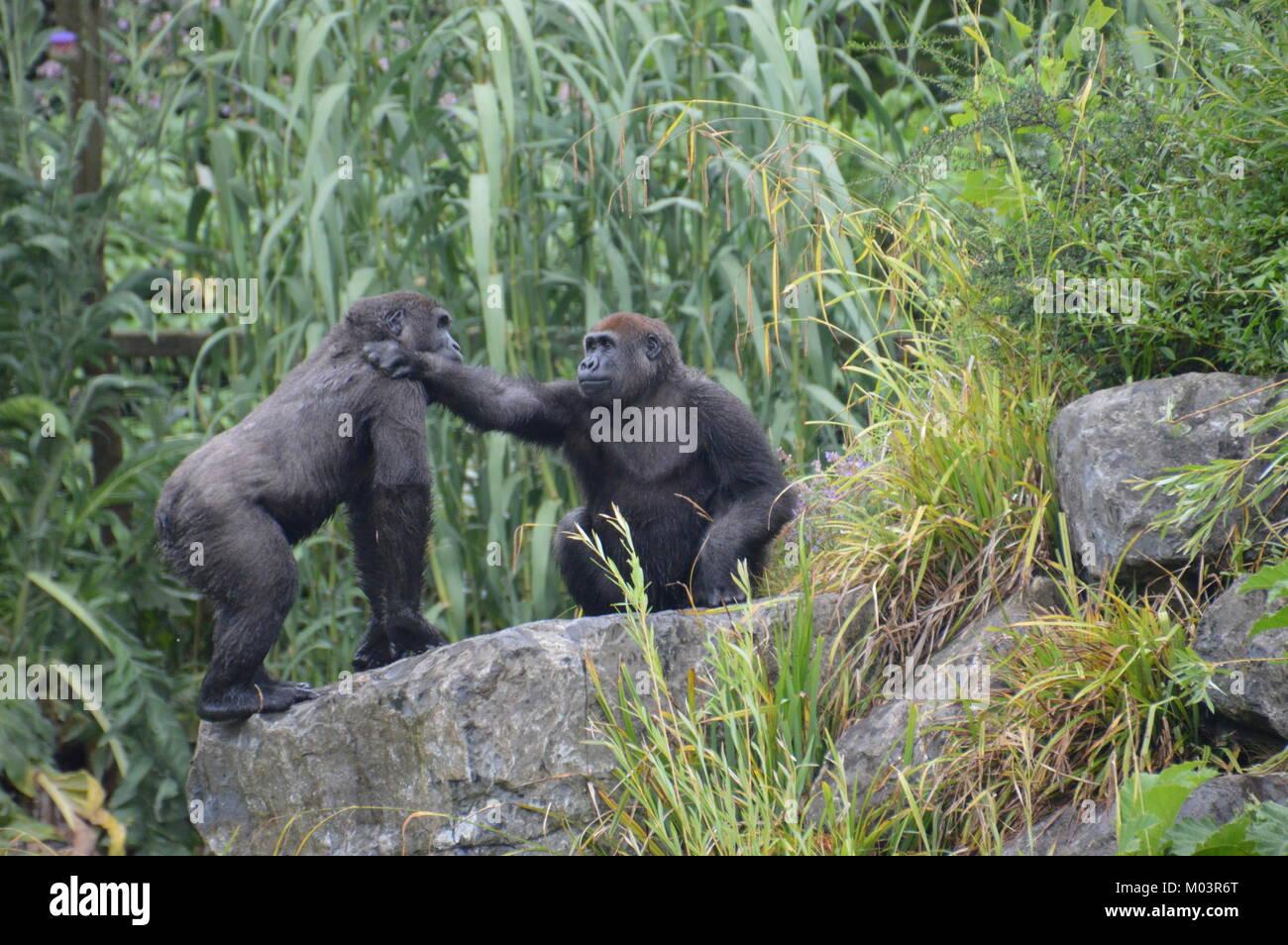 Gorillas Gorillas Gorillas - Stock Image