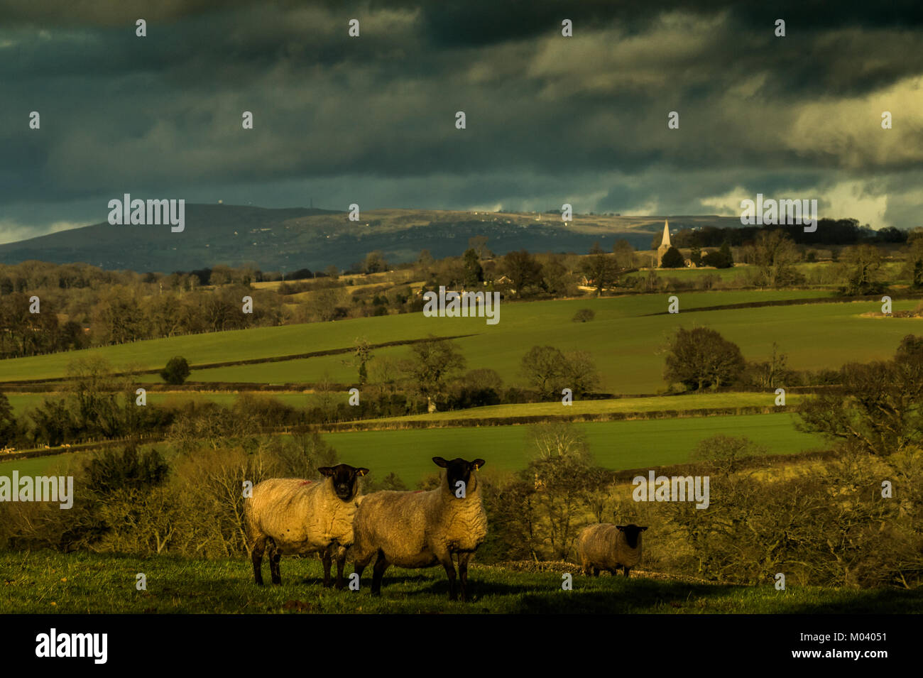 Leominster, Herefordshire. 18th January, 2018. Sheep look at the camera in late afternoon mid-Winter sunshine with - Stock Image