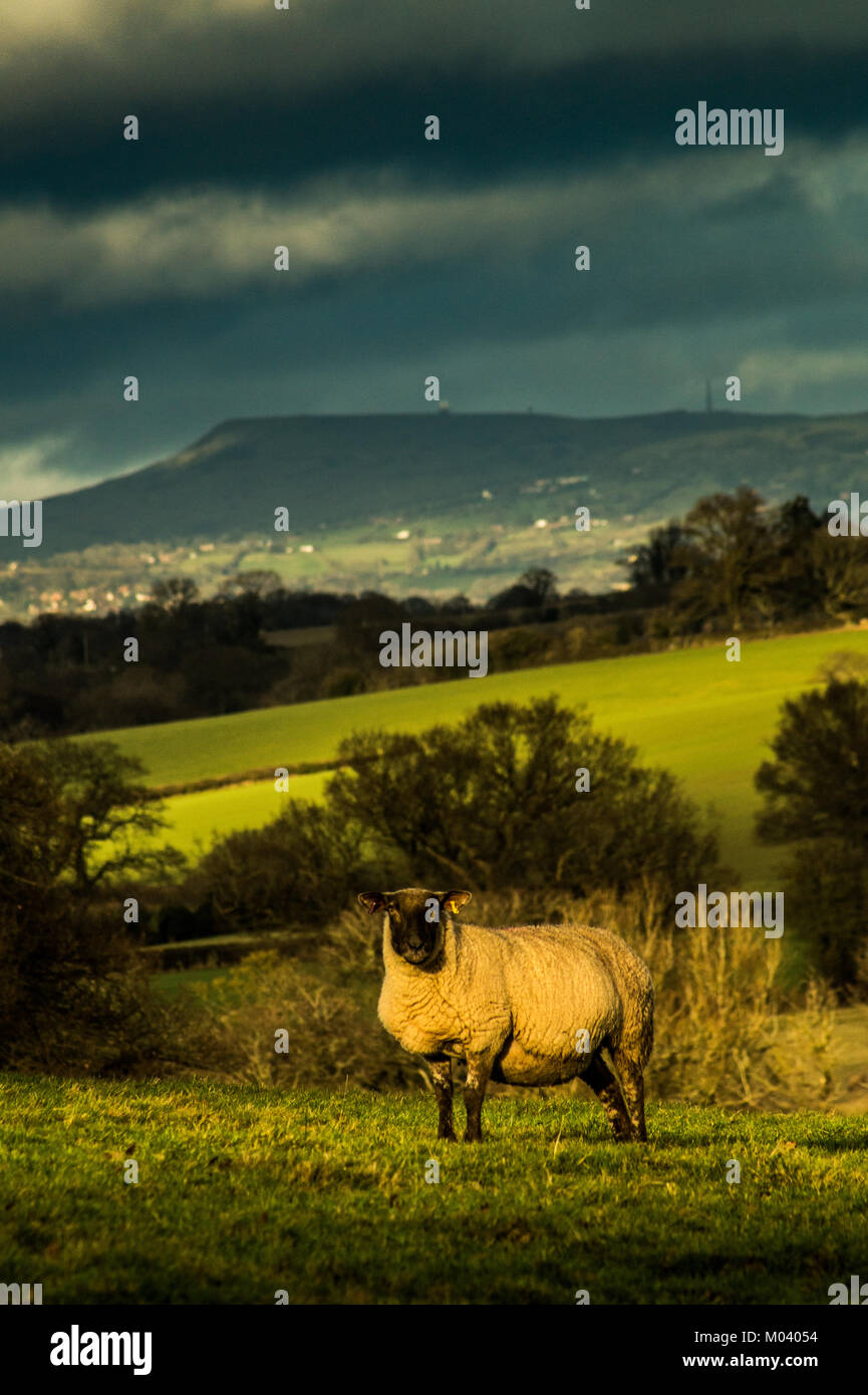 Leominster, Herefordshire. 18th January, 2018. A sheep looks at the camera in late afternoon mid-Winter sunshine - Stock Image