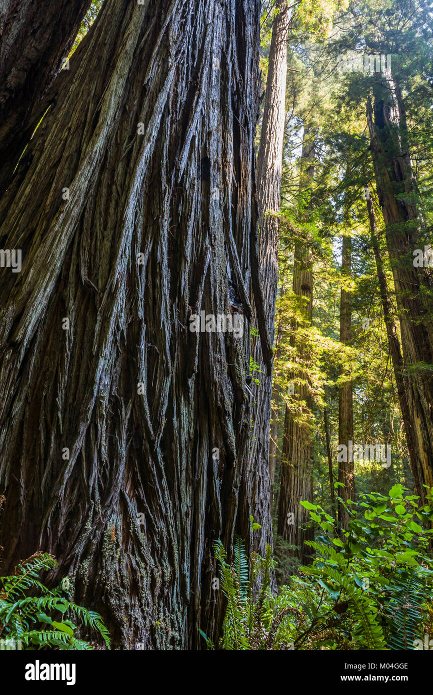 Looking up at a large Redwood tree. Redwood National Park, California, USA. Stock Photo