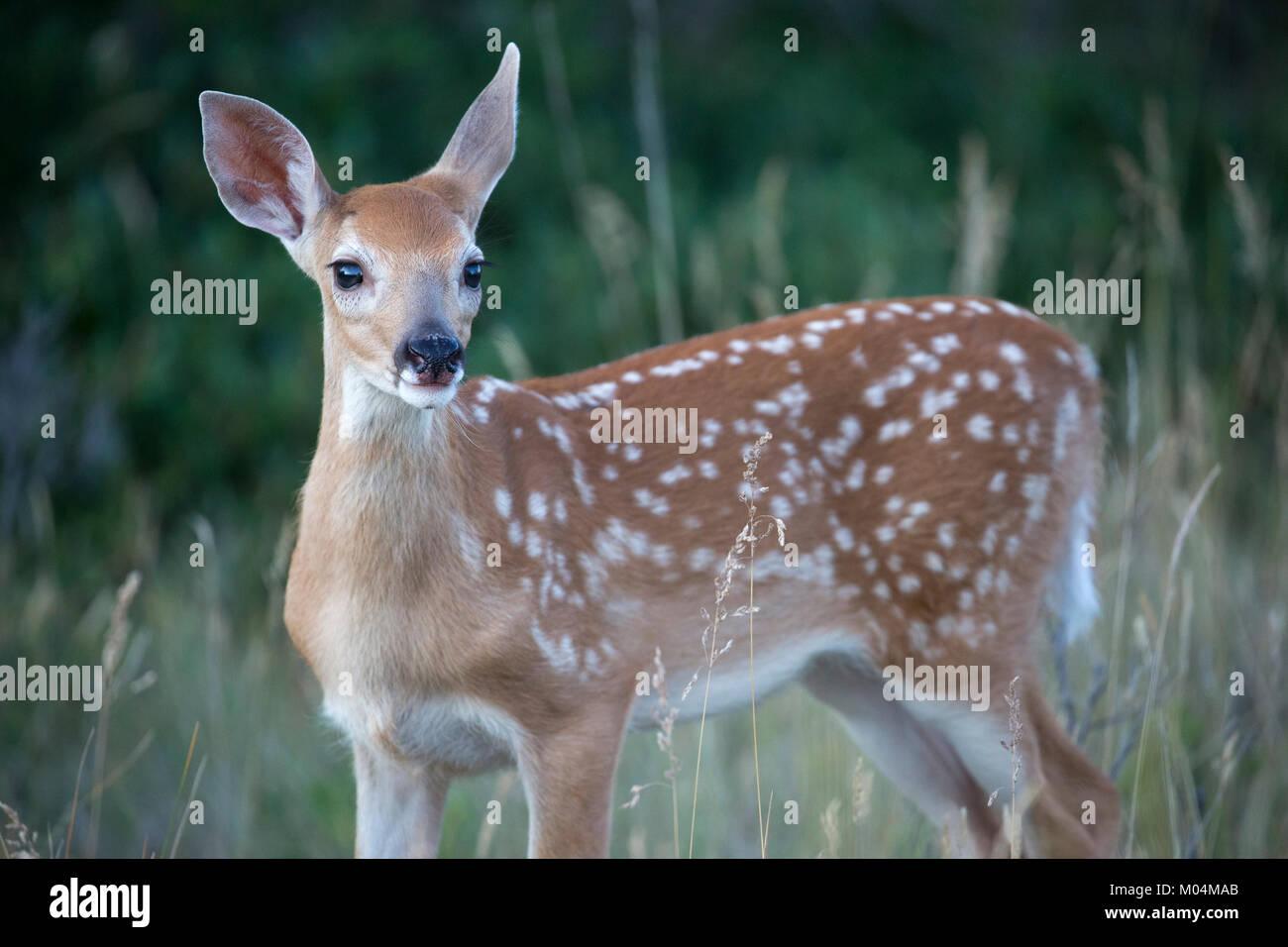 White-tailed deer fawn (Odocoileus virginianus) - Stock Image