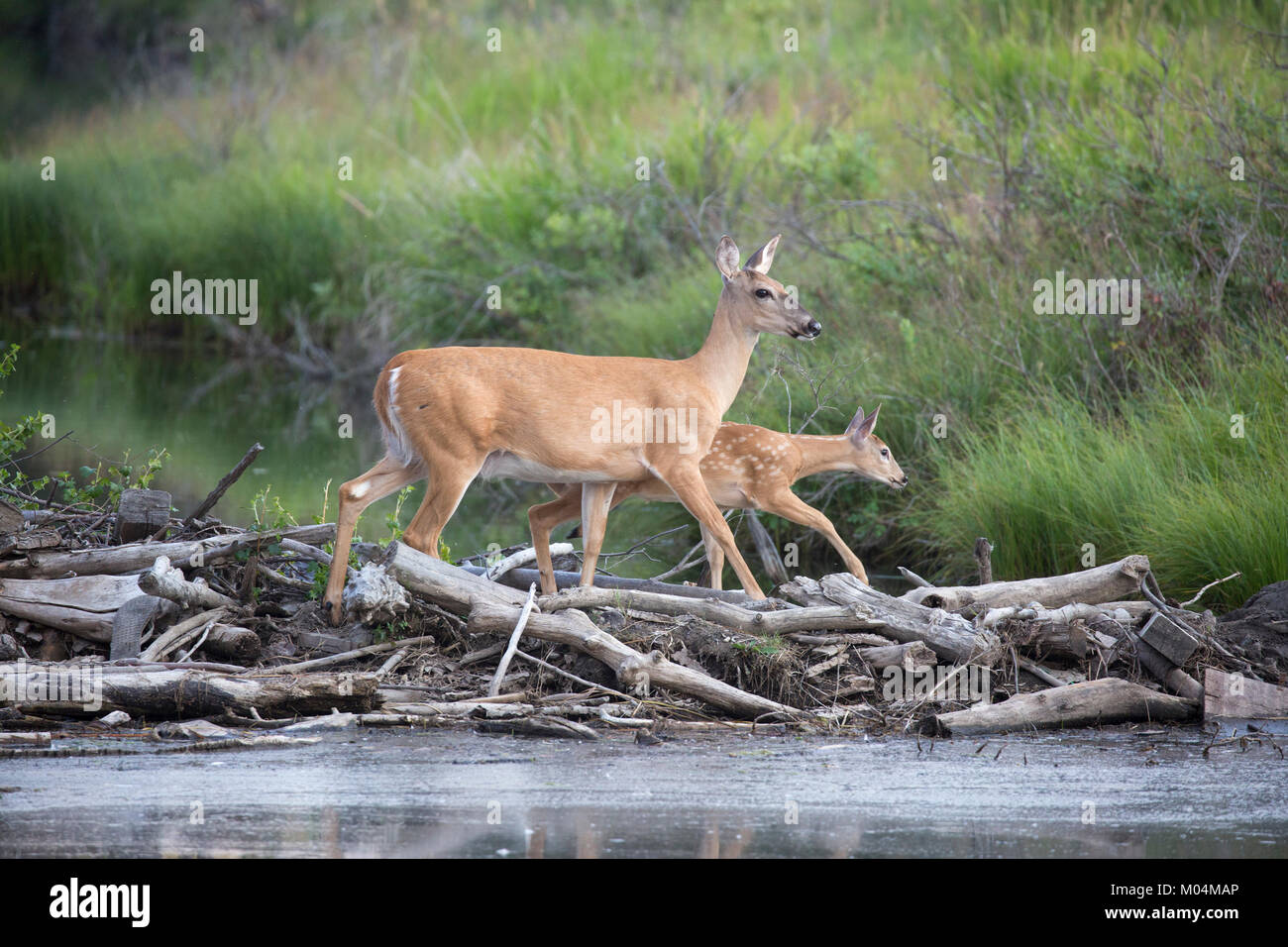 White-tailed deer doe and fawn (Odocoileus virginianus) crossing stream on beaver dam - Stock Image