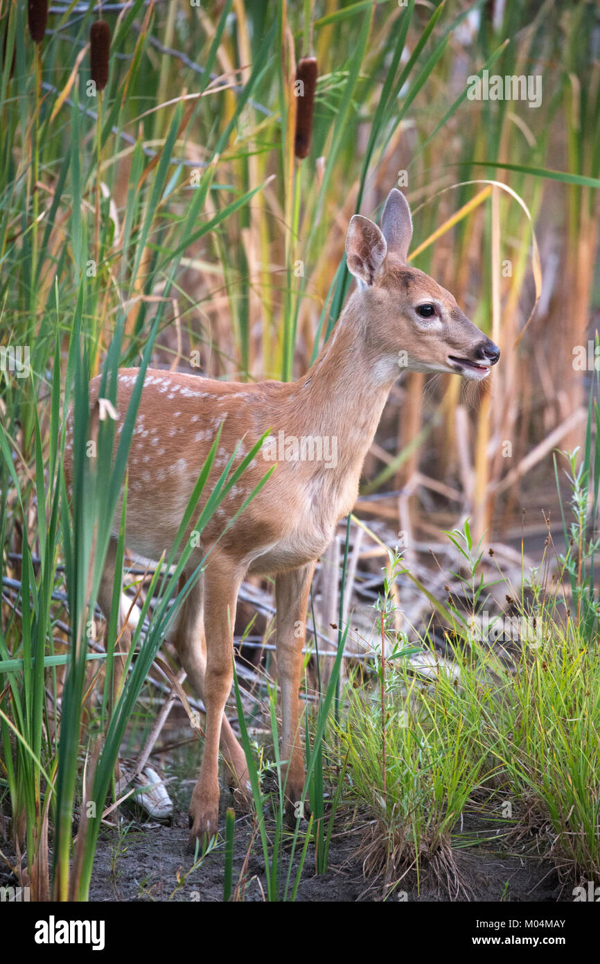 White-tailed deer fawn (Odocoileus virginianus) in cattails at pond edge - Stock Image