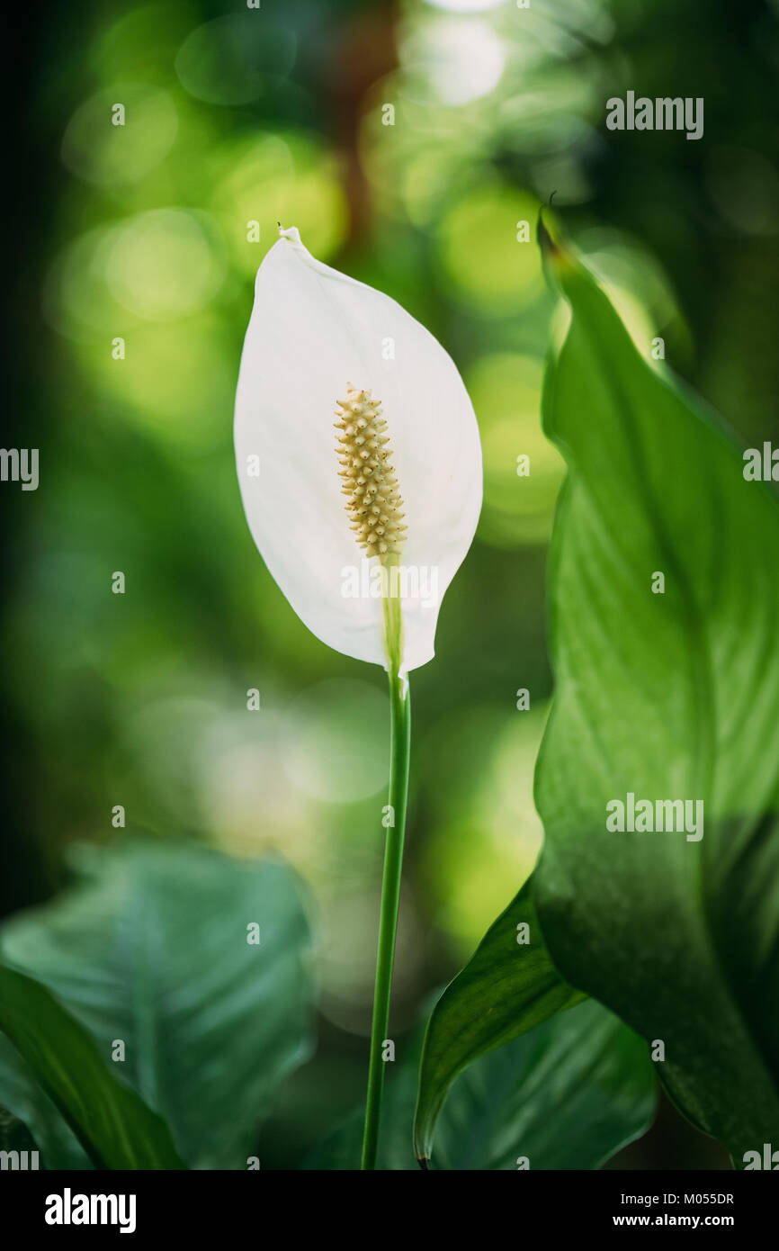 Green Leaves Of Plant Flower Spathiphyllum. It Is A Genus Of About 40 Species Of Monocotyledonous Flowering Plants - Stock Image