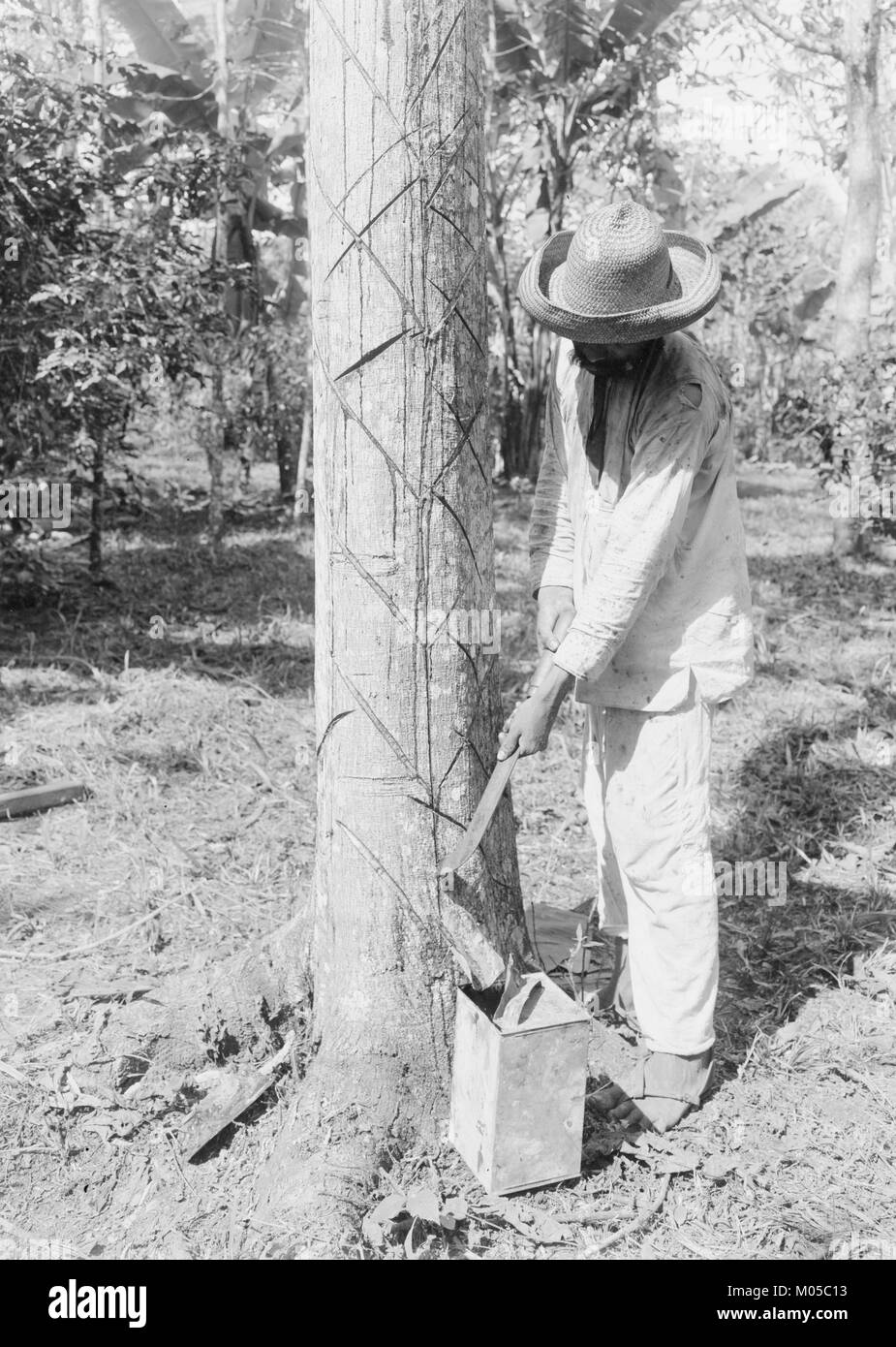 Tapping Rubber Tree with machete (Old Way) - Stock Image