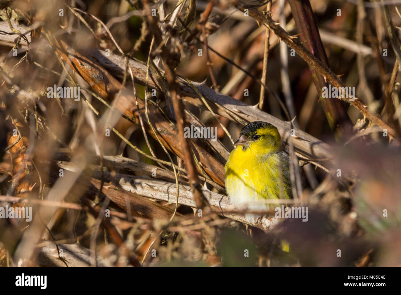Siskin or Carduelis spinus male deep in brown brambles contrasting with its bright yellow green plumage pale belly Stock Photo