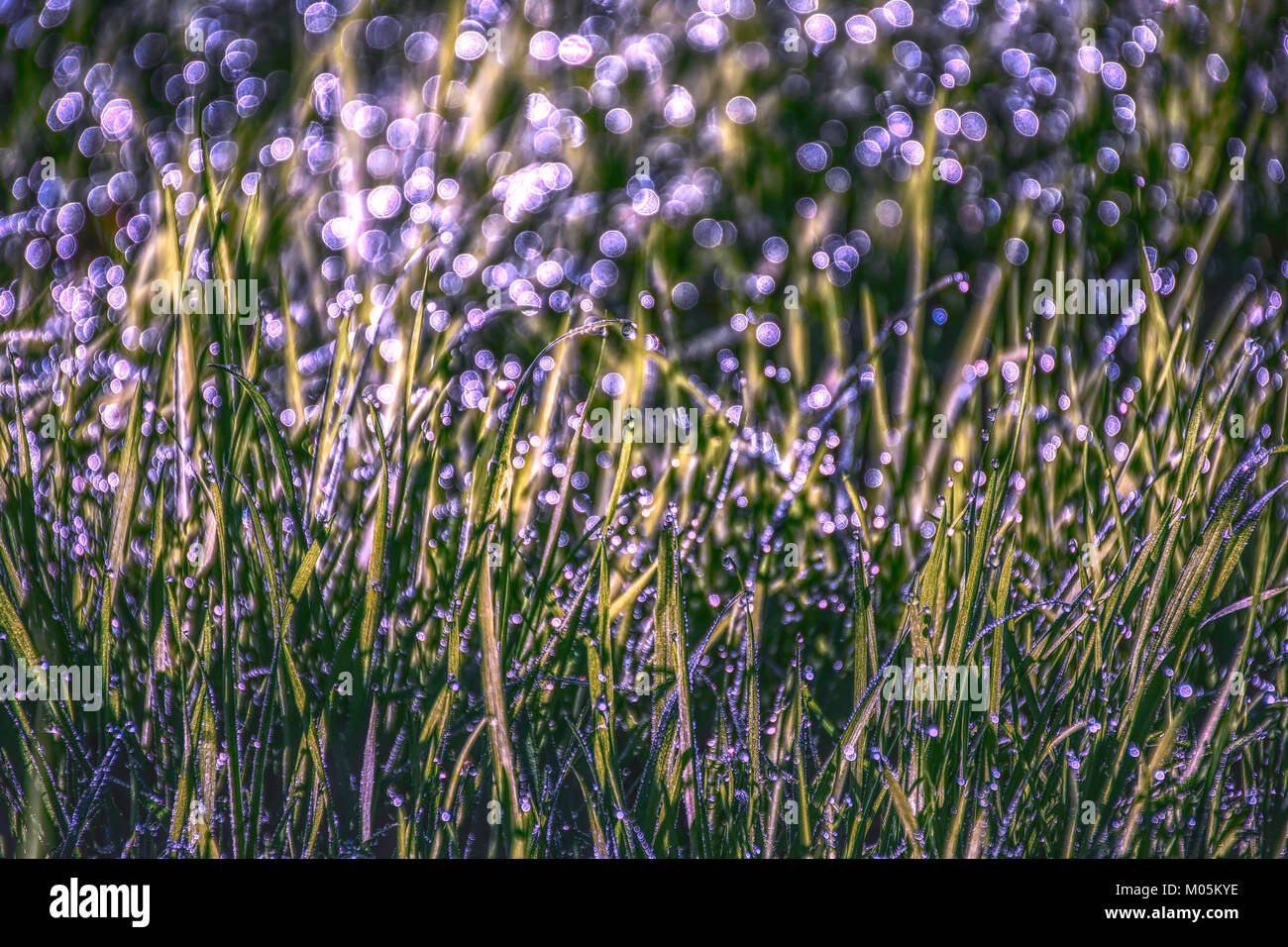 Morning dew on grass ,natural light and beautiful violet bokeh.Nature abstract. - Stock Image