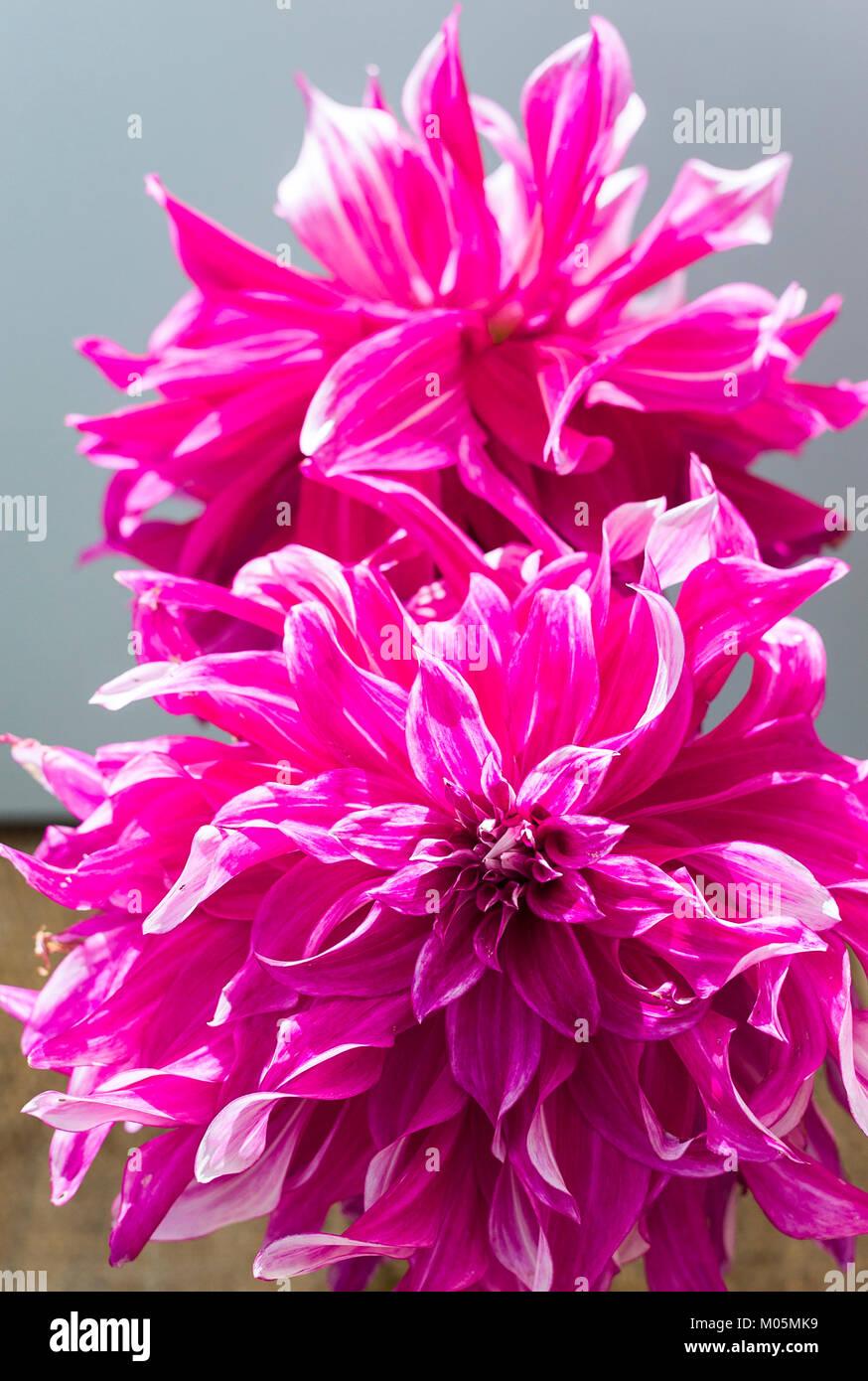 Dahlia Grande Finale in full flower in UK - Stock Image