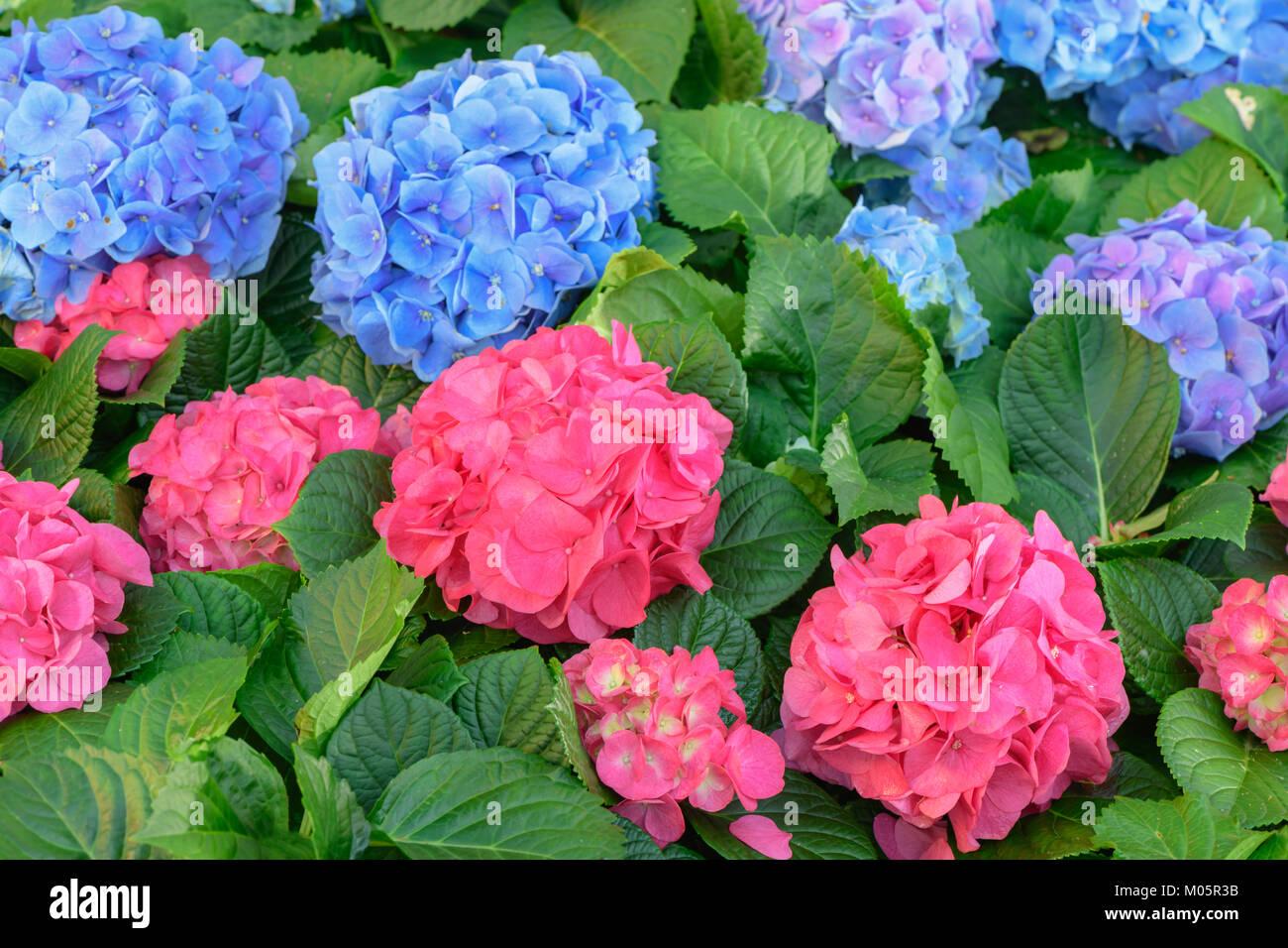 Pink And Blue Hydrangea Flower Hydrangea Macrophylla In A Garden