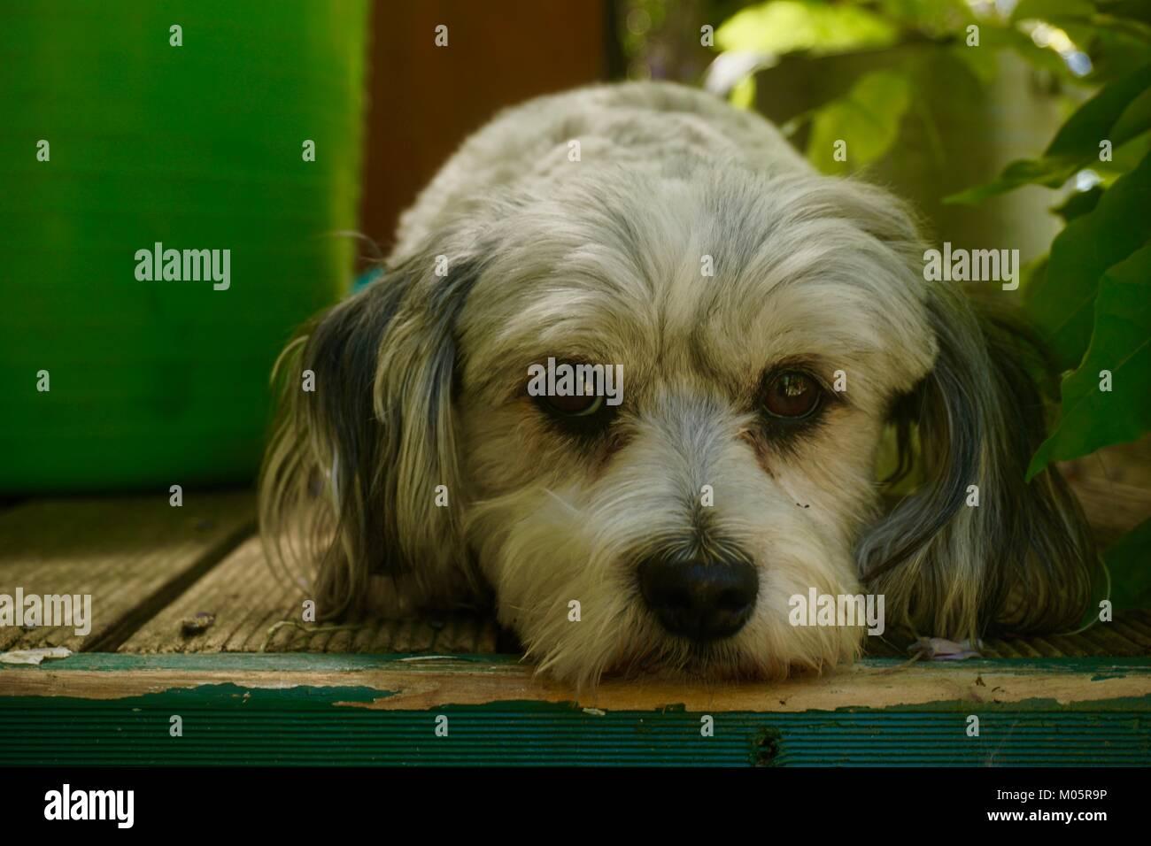 Small watch dog - Stock Image