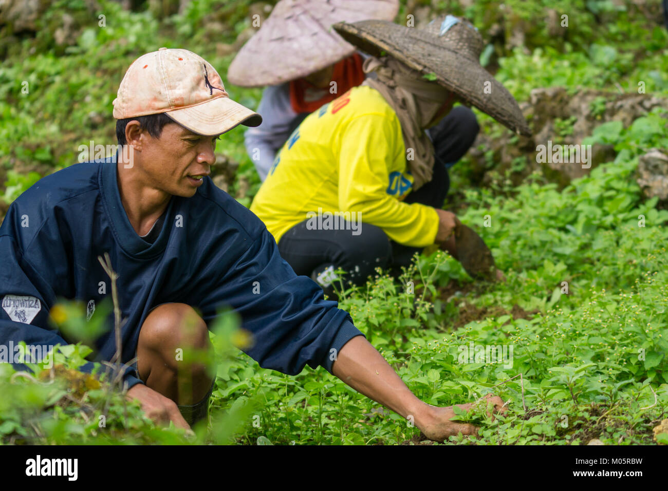 Filipino farm labourers working with a simple hand tool to remove weeds choking young cabbages. - Stock Image