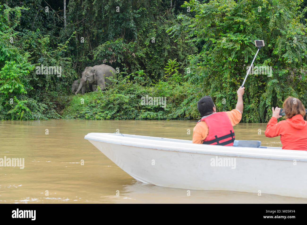 Tourists on the Kinabatangan River taking a selfie next to a Borneo Pygmy Elephant (Elephas maximus borneensis), - Stock Image