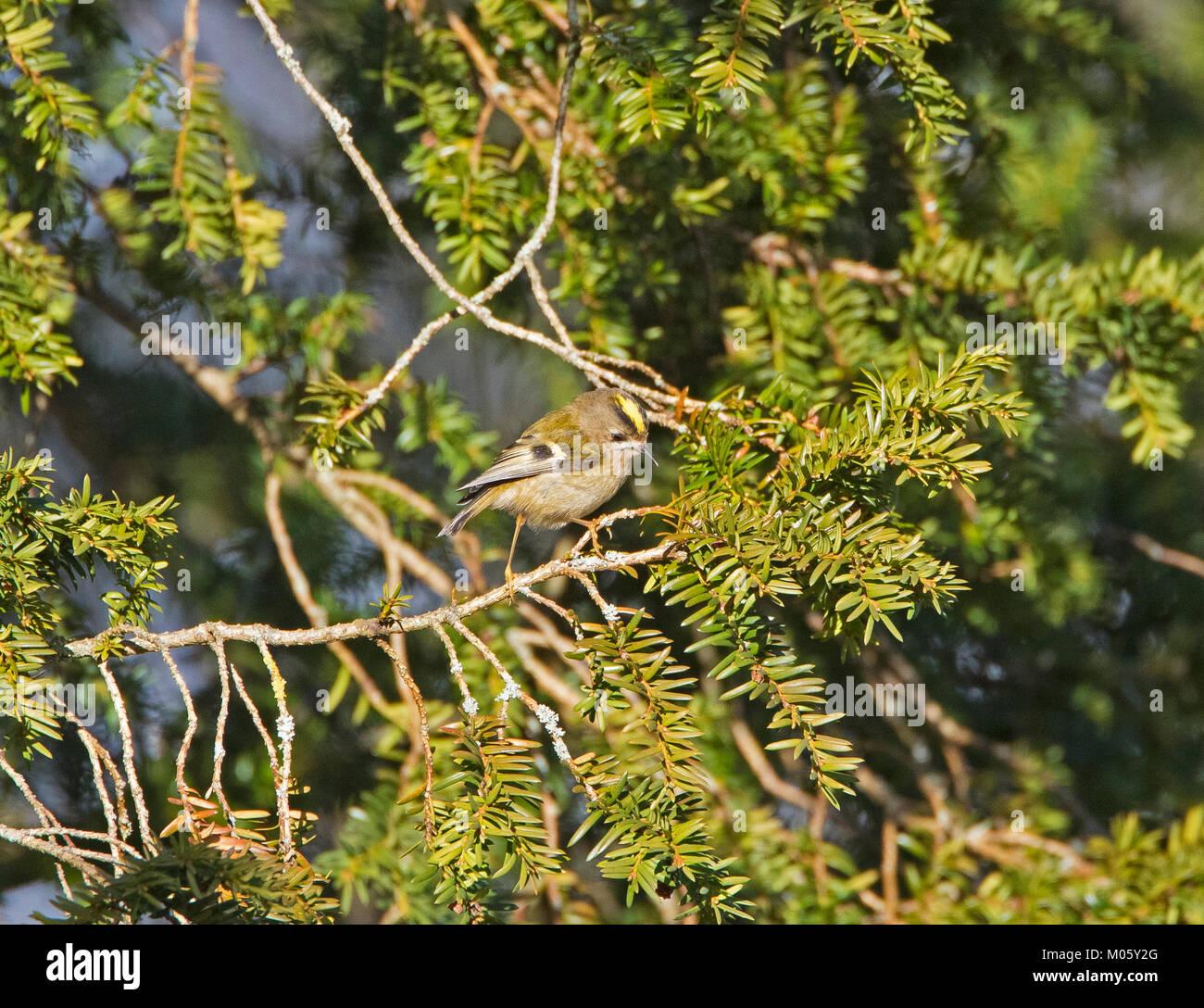 Goldcrest Regulus regulus feeding in yew tree - Stock Image