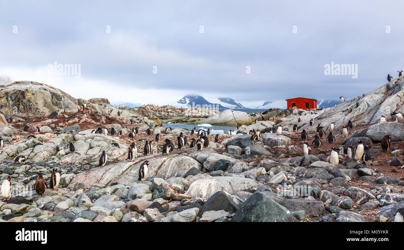Rocky coastline overcrowded with flock of gentoo penguins and fjord with polar hut in the background, Peterman island, Stock Photo