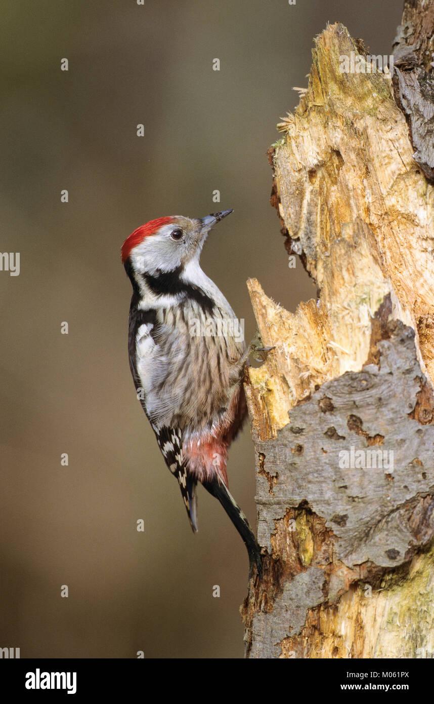 Mittelspecht, sucht an morschem Baumstamm nach Nahrung, Mittel-Specht, Specht, Leiopicus medius, Dendrocopos medius, Stock Photo
