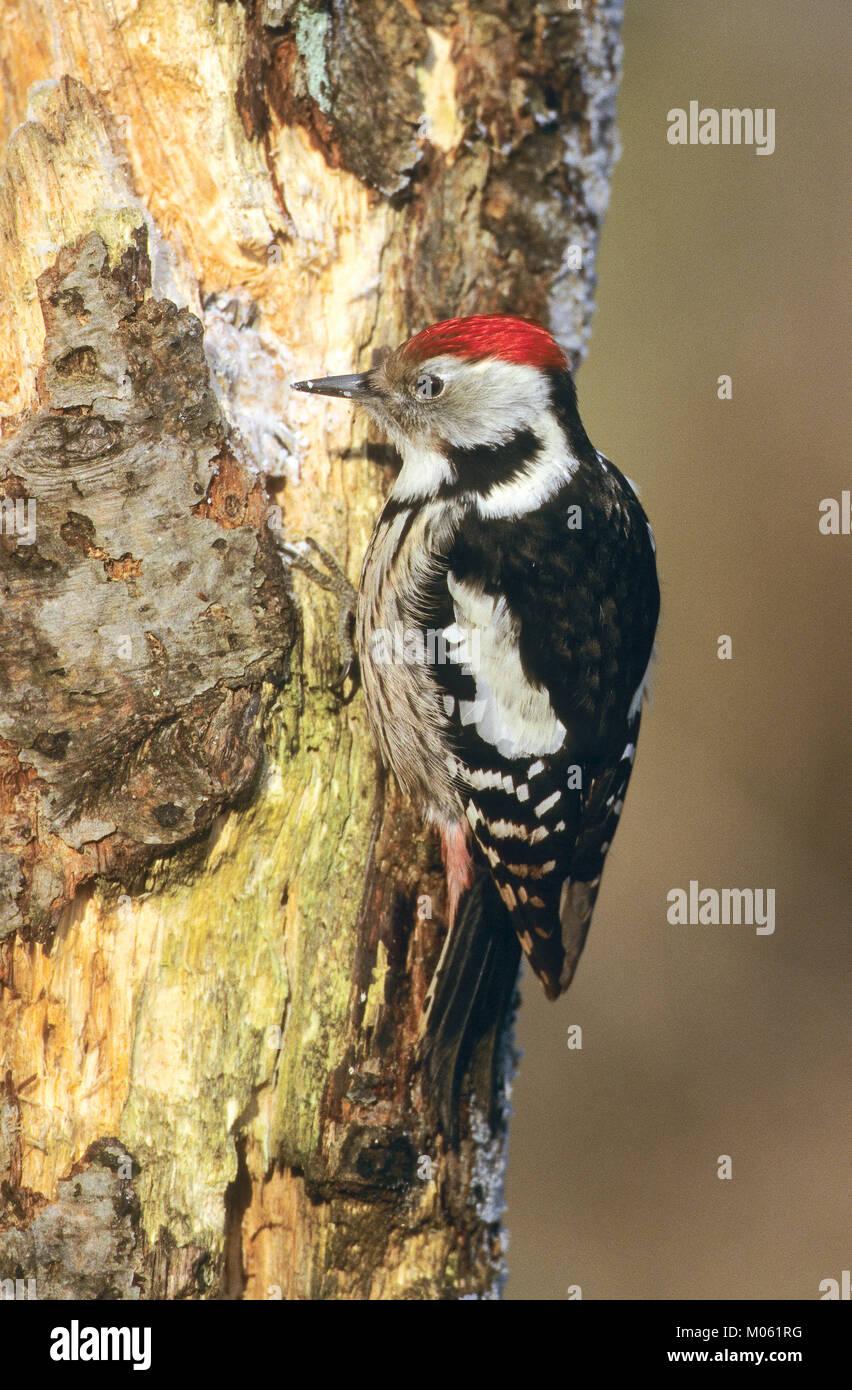 Mittelspecht, sucht an morschem Baumstamm nach Nahrung, Vogelfütterung: Fettfutter in Ritzen verteilt, Mittel-Specht, Stock Photo