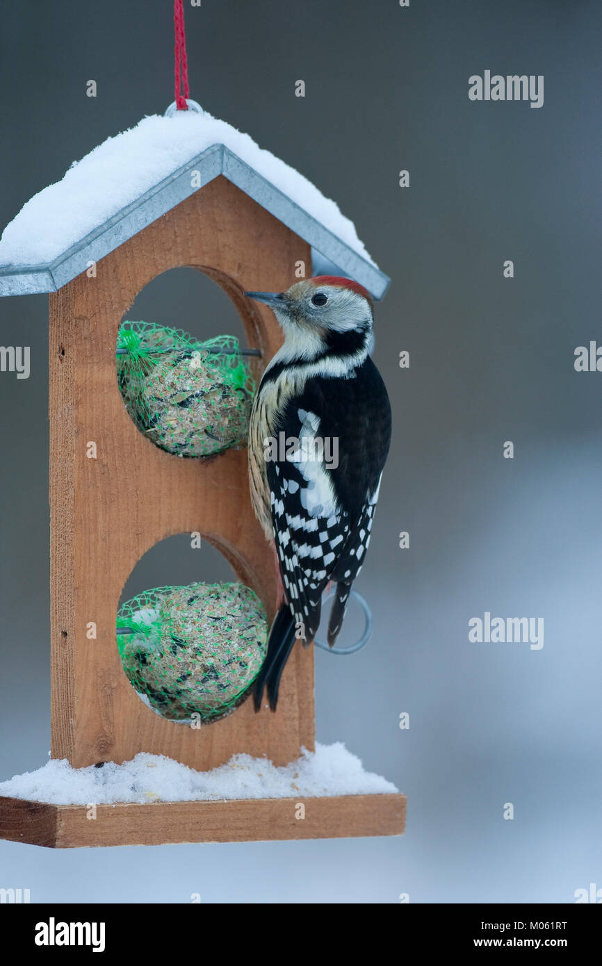 Mittelspecht, Mittel-Specht, Mittlerer Specht, an der Vogelfütterung, Fütterung im Winter bei Schnee, an Häuschen Stock Photo