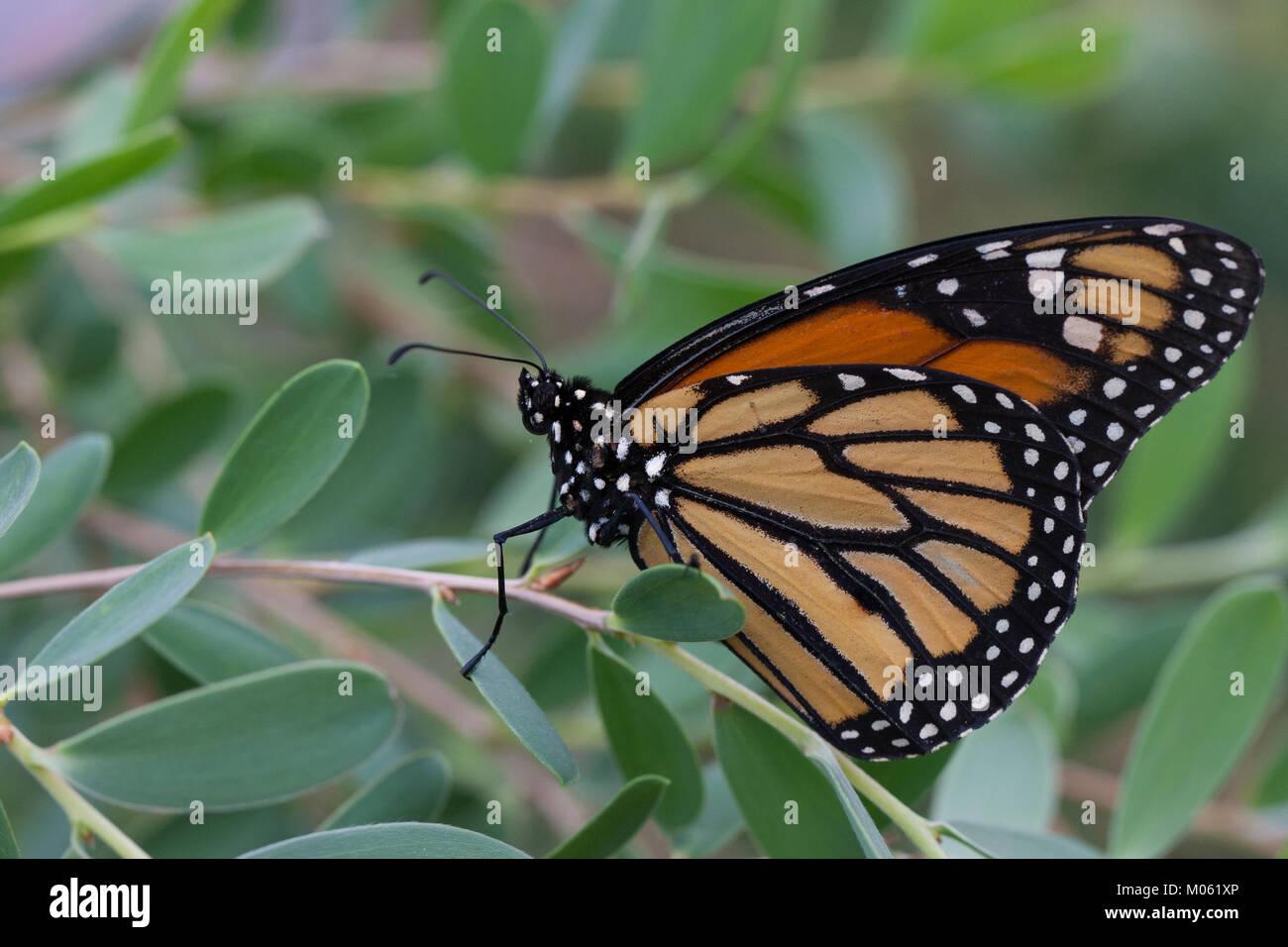 Monarchfalter, Monarch-Falter, Amerikanischer Monarch, Monarch, Danaus plexippus, Monarch butterfly, Wanderfalter, - Stock Image