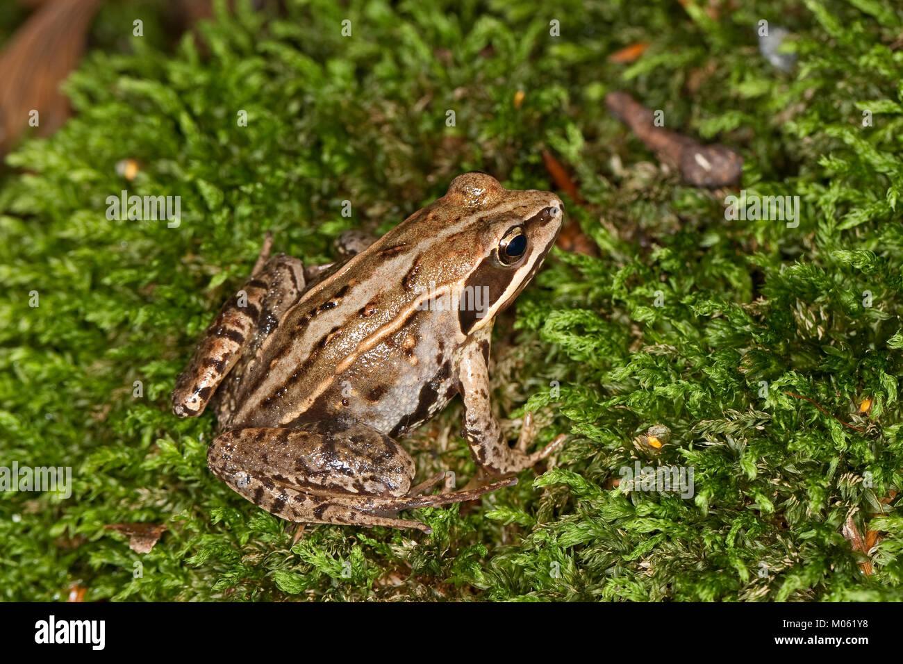 Moorfrosch, Moor-Frosch, Frosch, Rana arvalis, Moor Frog - Stock Image
