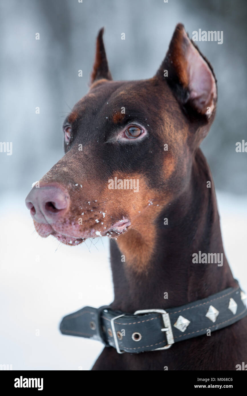 Close up portrait of brown doberman with dog-collar on neck - Stock Image