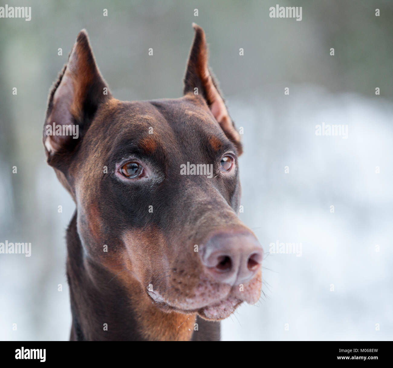 Brown doberman dog muzzle with watchful ears, close up view - Stock Image