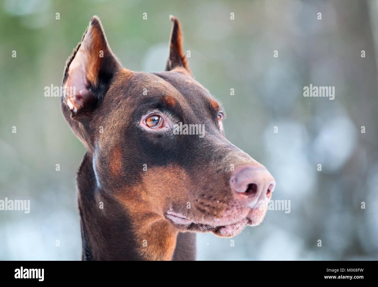 Close-up of brown Dobermann dog head - Stock Image