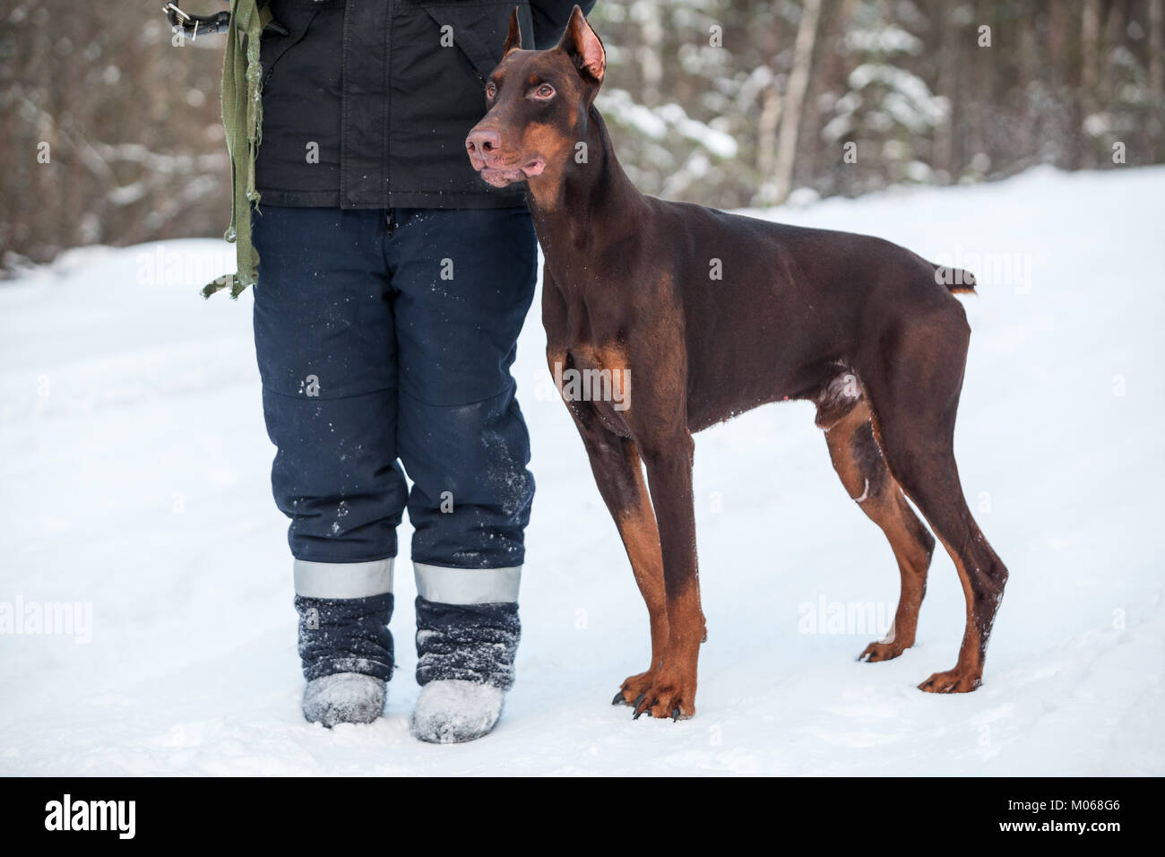 Brown doberman dog standing near man cynologist at winter season, full-length - Stock Image