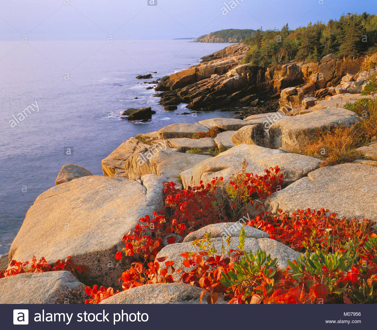 0901-1003LVT  George H. H. Huey  Poison ivy [autumn] growing in granite along the Ocean Trail. Mt. Desert Island. - Stock Image