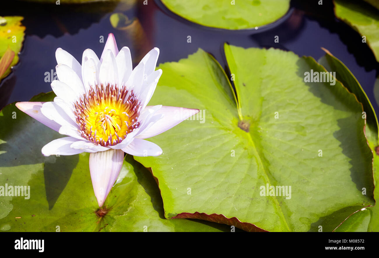 Picture Of A Lotus Flower Selective Focus Stock Photo 172283414