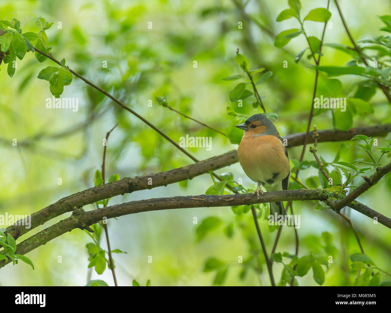 Chaffinch, Fringilla coelebs, woodland, Shropshire, England, UK, GB, Europe - Stock Image