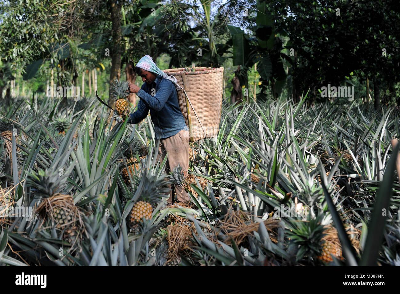 TANGAIL, BANGLADESH – JUNE 25, 2016: Pineapple plant harvest at Madhupura in Tangail, Bangladesh. - Stock Image