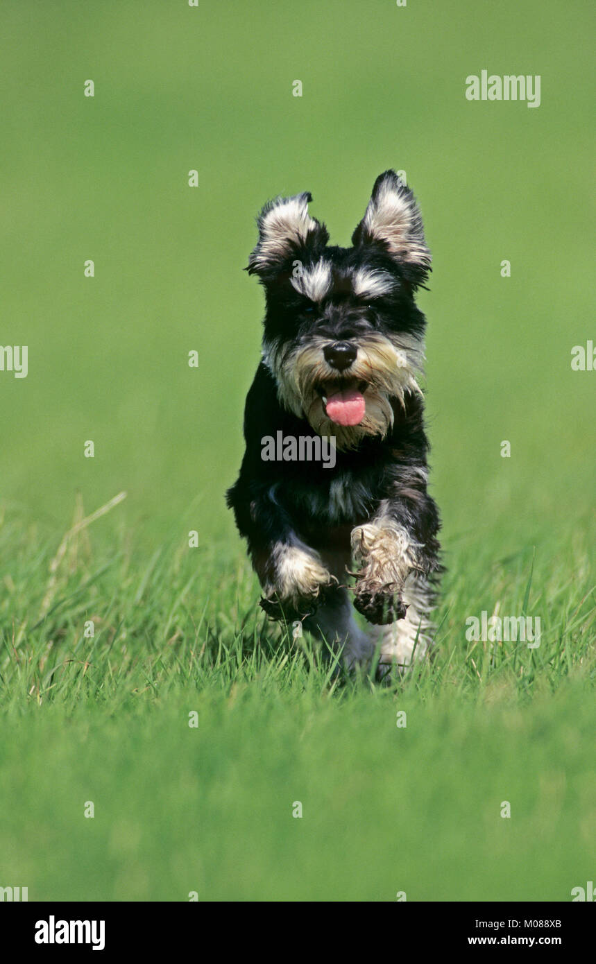 Miniature Schnauzer Black Silver Stock Photos Amp Miniature