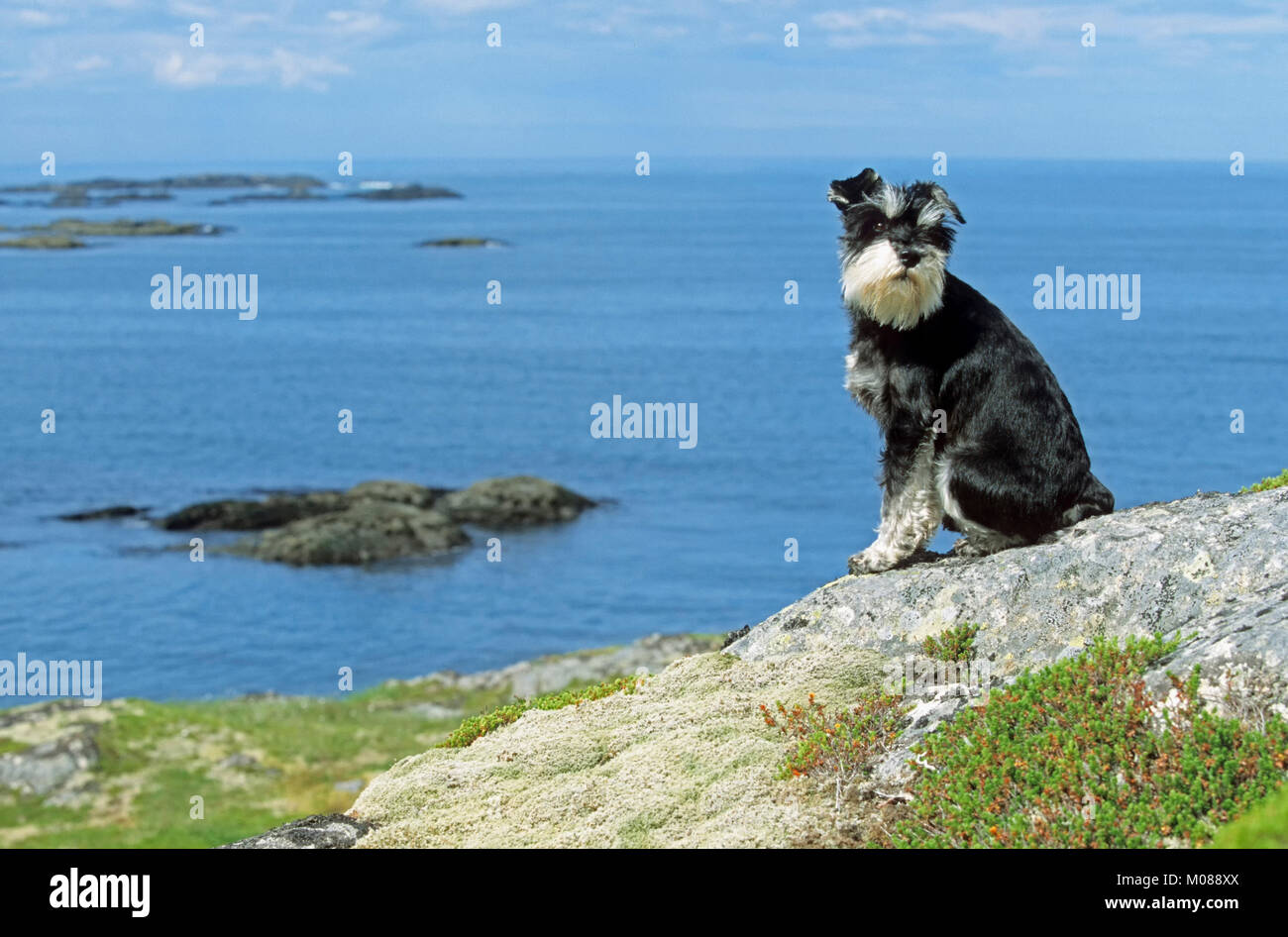 Miniature Schnauzer, black-silver, at the coast, Lofotes, Norway | Zwergschnauzer, schwarz-silber, an der Kueste, Stock Photo