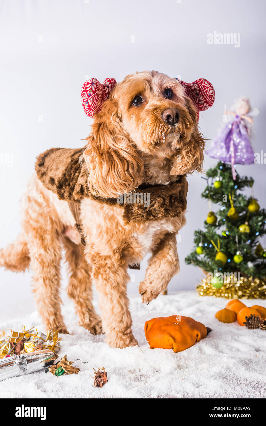 Cute dog in Christmas scene - Stock Image