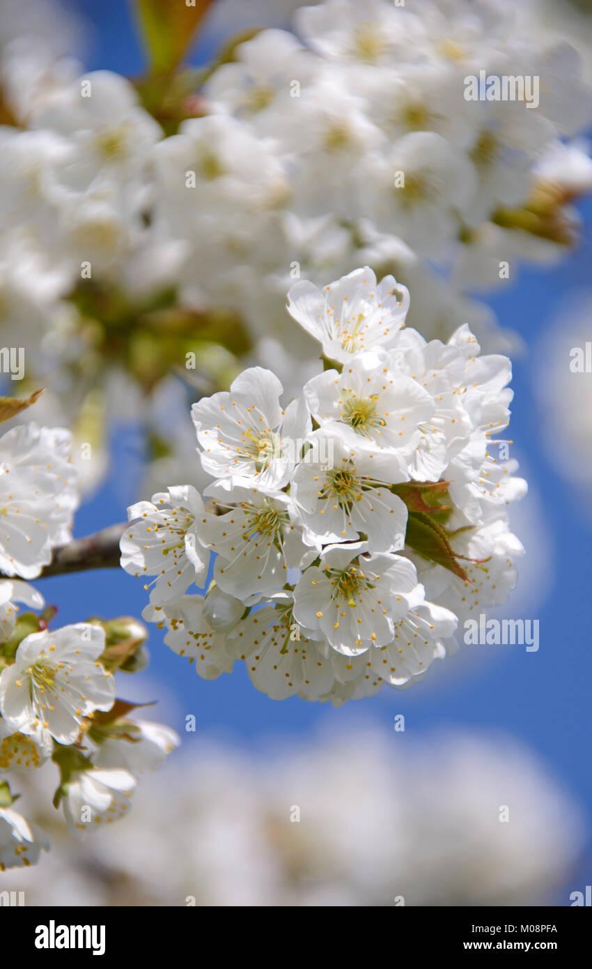 Kirschbaumblüte in Hessen, Germany - Cherrytrees in bloom - Stock Image