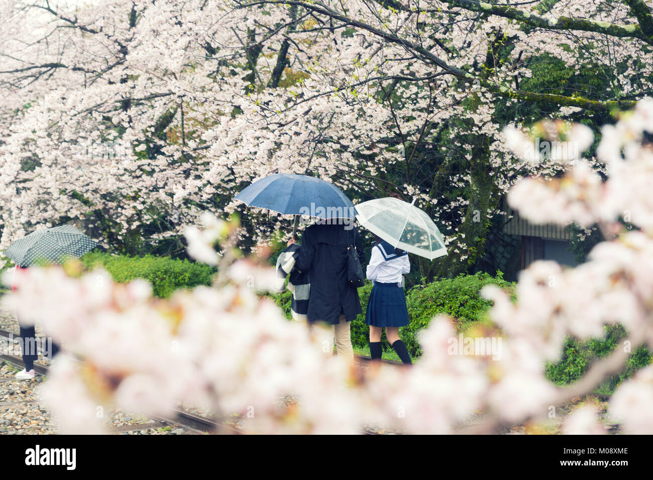 Cherry blossom flowers in garden with many people at Kyoto, Japan. Stock Photo