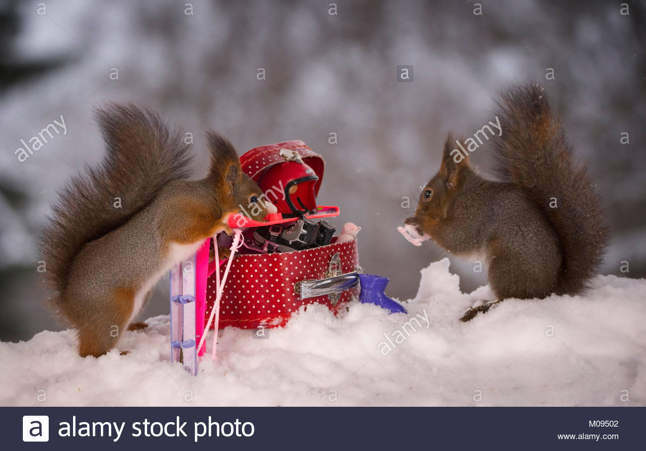 red squirrel with a suitcase filled with winter sport articles - Stock Image